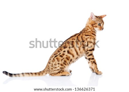 portrait of a purebred bengal cat. looking away. isolated on white background