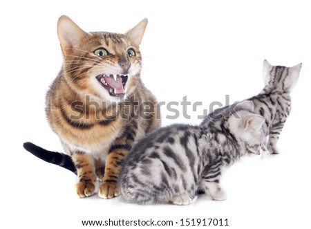 portrait of a purebred  bengal kitten and mother on a white background