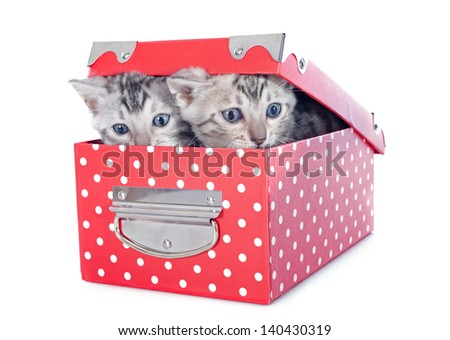 portrait of a purebred  bengal kitten  in a red box on a white background - stock photo