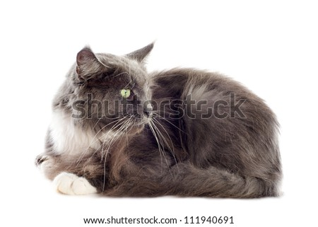 portrait of a purebred  blue maine coon cat on a white background