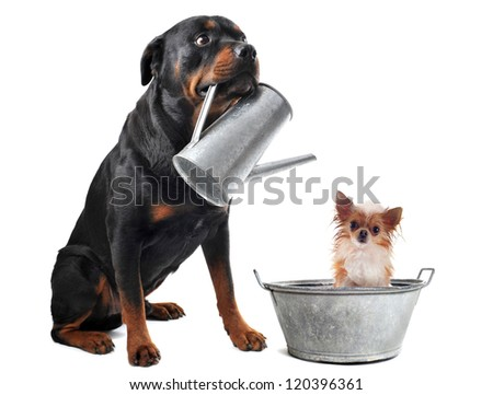 portrait of a purebred  chihuahua in a bassin and rottweiler with watering can  in front of white background - stock photo