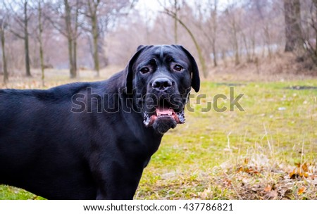 Portrait of a purebred dog Neapolitan Mastiff sitting outside in the grass sniffing the grass - stock photo