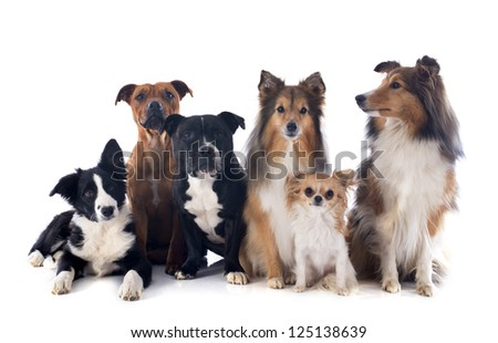 portrait of a purebred  dogs in front of white background - stock photo