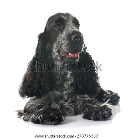 portrait of a  purebred english cocker in a studio - stock photo