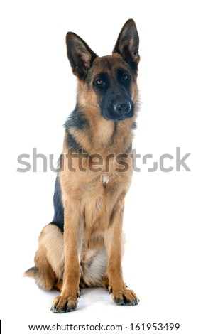 portrait of a  purebred german shepherd in front of white background