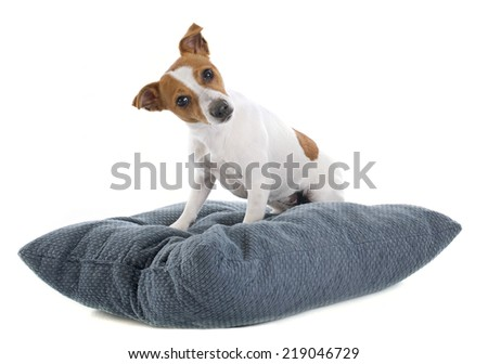 portrait of a purebred jack russel terrier in studio - stock photo