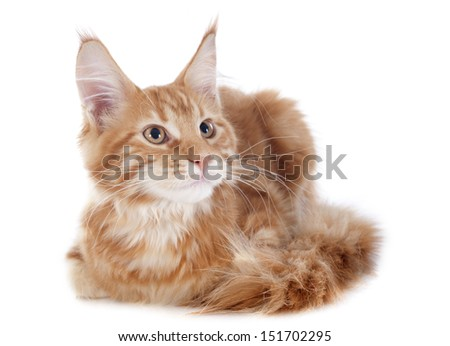 portrait of a purebred  maine coon kitten, four month old, on a white background