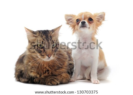 portrait of a purebred  norwegian cat and chihuahua on a white background