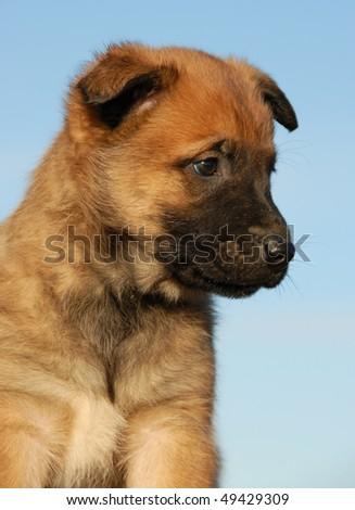 portrait of a purebred puppy belgian sheepdog malinois - stock photo