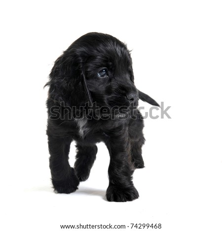 portrait of a  purebred puppy english cocker in a studio - stock photo