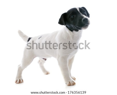 portrait of a purebred puppy jack russel terrier in studio