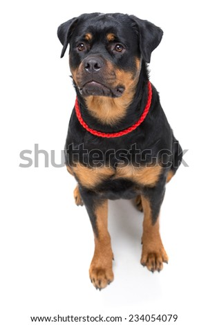 Portrait of a purebred rottweiler with red thong on a white background. - stock photo