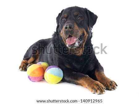 portrait of a purebred rottweiler with toys in front of white background