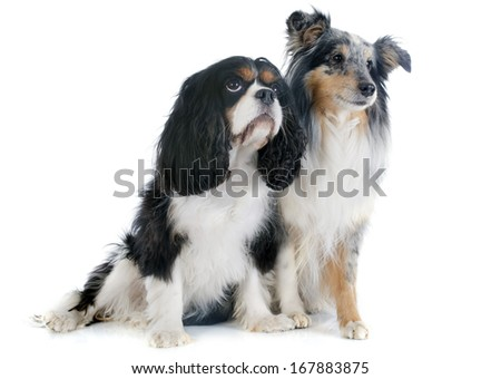 portrait of a purebred shetland dog and cavalier king charles in front of white background