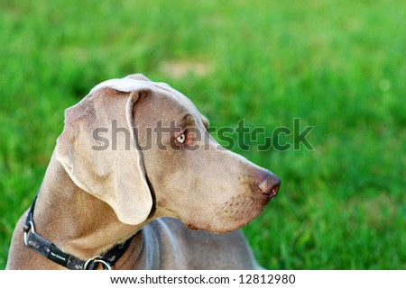 Portrait of a purebred Weimaraner dog on green background - stock photo