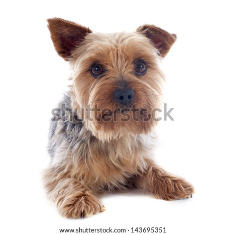portrait of a purebred yorkshire terrier in front of white background