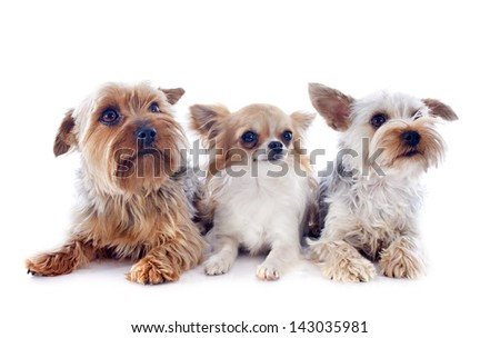 portrait of a purebred yorkshire terriers and chihuahua in front of white background