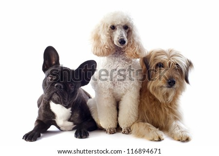 portrait of a pyrenean sheepdog, poodle and french bulldog in front of a white background - stock photo