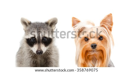 Portrait of a raccoon and Yorkshire terrier isolated on white background - stock photo