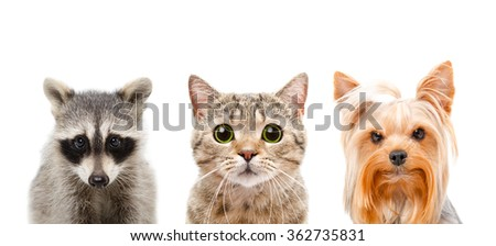 Portrait of a raccoon, cat and dog together, closeup, isolated on a white background - stock photo