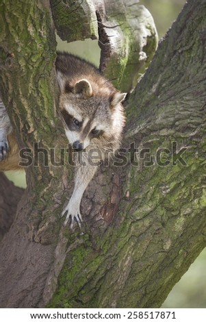 portrait of a raccoon climbing on a tree, Germany, Europe
