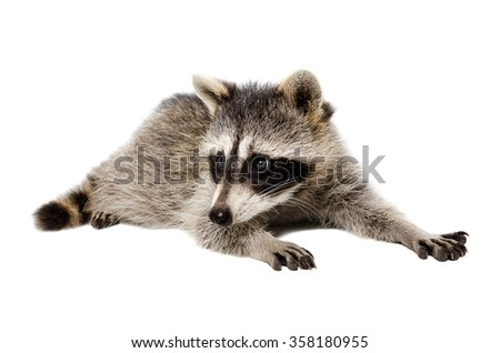 Portrait of a raccoon lying isolated on white background - stock photo