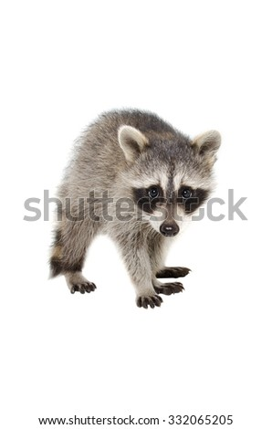 Portrait of a raccoon standing isolated on white background - stock photo
