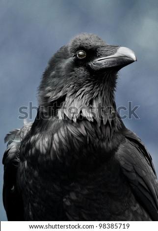 portrait of a raven - stock photo