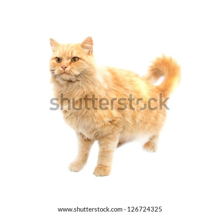 Portrait of a red cat on a white background