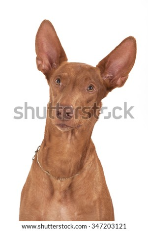 Portrait of a red dog with long ears, with a long hvorst, with long paws of breed the Pharaoh Hound on a white background.