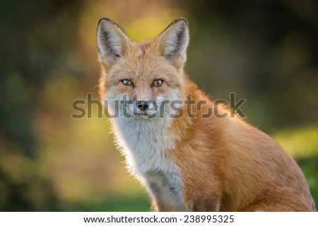 Portrait of a Red Fox - stock photo