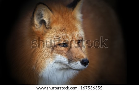 Portrait of a red fox male on black background, vulpes vulpes. The head of a beautiful forest wild beast. Smart look of a dodgy vulpes, skilled raptor and elegant animal. Cute and cuddly creature. - stock photo