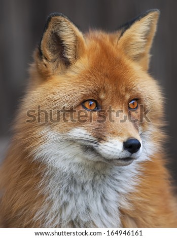 Portrait of a red fox male, vulpes vulpes. The head a beautiful forest wild beast. Smart look of a dodgy vulpes, skilled raptor and elegant animal. Cute and cuddly creature. - stock photo