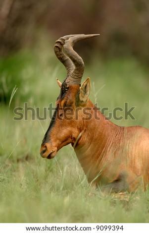 Portrait of a red hartebeest (Alcelaphus buselaphus), Pilanesberg National Park, South Africa - stock photo