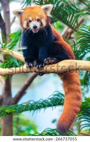 Portrait of a Red Panda, Firefox or Lesser Panda (Ailurus fulgens) - stock photo