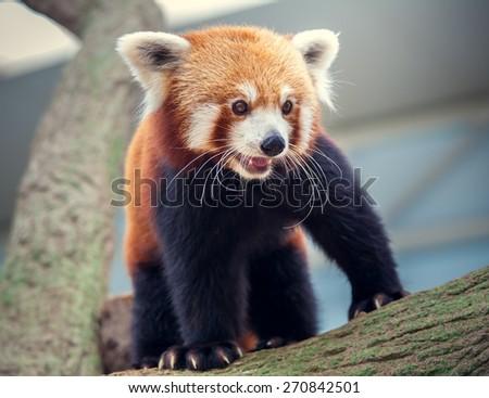 Portrait of a Red Panda, Firefox or Lesser Panda Ailurus fulgens - stock photo