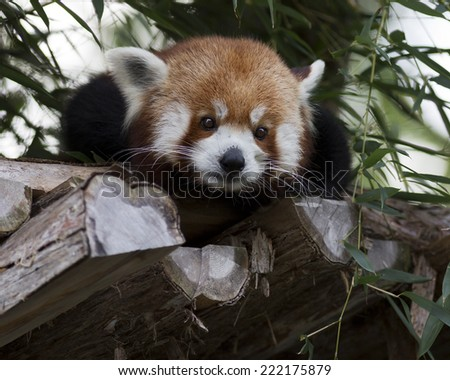 portrait of a red panda making eye contact - stock photo