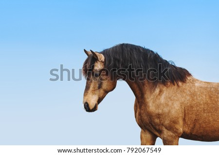 Portrait of a red stallion against the blue sky. A beautiful horse with a long black mane. Light horse with a dark mane