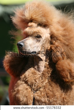 Portrait of a red Standard Poodle - stock photo