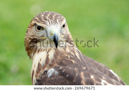 Portrait of a red-tailed hawk, Buteo jamaicensis, looking at camera - stock photo