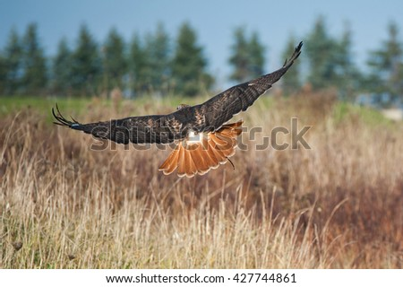 Portrait of a Red Tailed Hawk flying into the distance. Beautiful feather detail. - stock photo