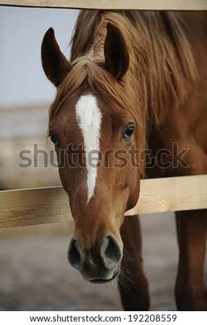 Portrait of a red young filly in the paddock - stock photo