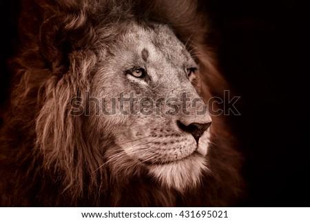Portrait of a Rekero Lion in Masai Mara, Kenya - stock photo
