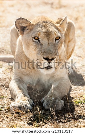 portrait of a resting lioness in the Kalahari desert,  South Africa - stock photo