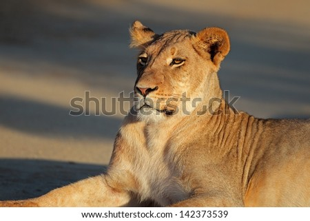 Portrait of a resting lioness (Panthera leo), Kalahari desert, South Africa  - stock photo
