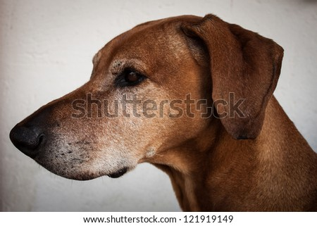 Portrait of a rhodesian ridgeback dog in profile on white background