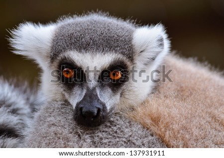 Portrait of a Ring-tailed lemur - stock photo