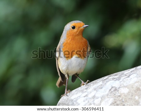 Portrait of a Robin on a rock