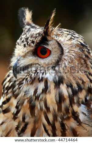 Portrait of a Rock Eagle owl (Bubo bengalensis) - stock photo