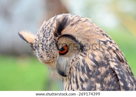 Portrait of a rock eagle-owl, Bubo bengalensis, looking at bottom - stock photo
